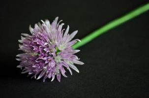 fiore di erba cipollina - isolato su grigio foto