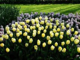 bella stagione primaverile fiori di tulipano foto