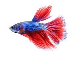 pesce combattente siamese, betta isolato su sfondo bianco.