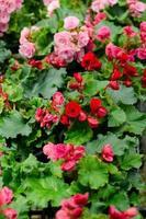 fiore di begonia foto