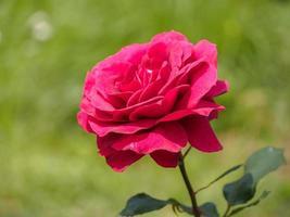 unica rosa rossa in giardino, lo sfondo è naturale.