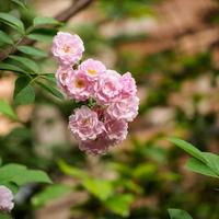 gruppo di rose rosa in giardino foto