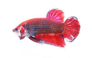 pesce combattente siamese, betta isolato su sfondo bianco foto