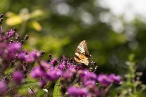 farfalla sulla canapa foto