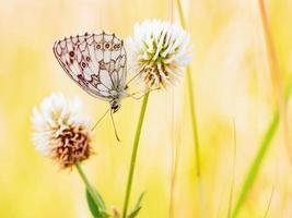 farfalla scacchiera bianca marmorizzata foto