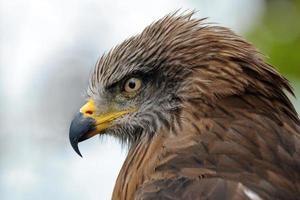 Aquila reale foto