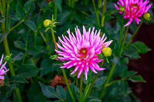 bella dalia in giardino foto