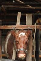 mucca pronta per la mungitura foto