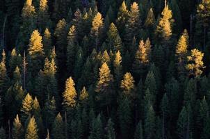 il pino ha illuminato la cima dalla luce del tramonto foto