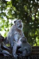 scimmia, ubud bali indonesia foto