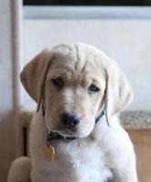 cucciolo labrador giallo
