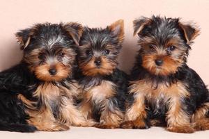 tre divertenti cuccioli di yorkshire terrier foto