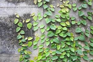 foglie di edera su sfondo muro per carta da parati foto