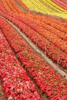 campo di fiori foto
