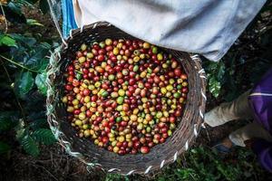 coltivatore di caffè raccolta chicchi di ciliegio maturi. foto