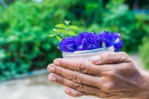 farfalla pisello fiore, clitoria ternatea