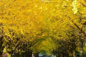 ginkgo alberato al parco hikarigaoka di tokyo foto