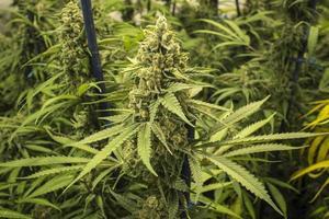 lungo germoglio sulla pianta di marijuana al coperto foto