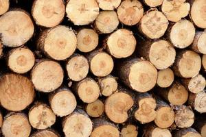 primo piano di tronchi di pino rosso (pinus resinosa) foto