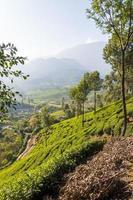 piantagioni di tè nelle montagne munnar