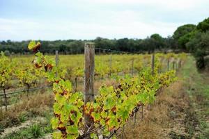 piantagione di uva foto
