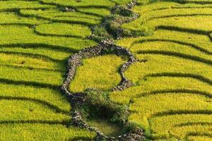 terrazza campo di riso giallo e verde. foto