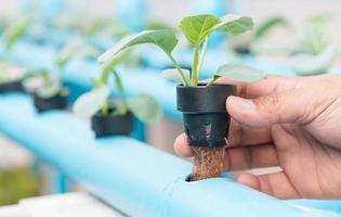 azienda agricola di coltura idroponica delle verdure foto