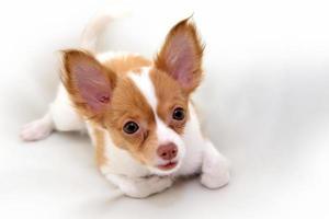 cucciolo di chihuahua foto