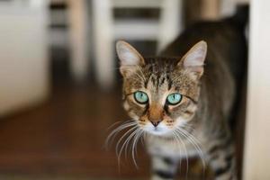 gattino dagli occhi verdi foto