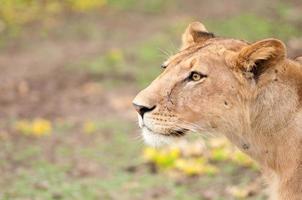 leonessa foto