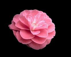 camelia rosa foto