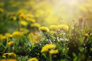 fiori di tarassaco alla luce del sole del mattino foto