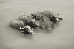 mucche nel Gange - Varanasi, India foto
