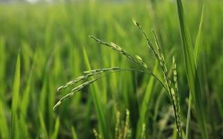 pianta di riso nel campo foto