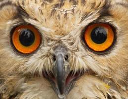 profilo di gufo reale indiano occhi - buho real de bengala foto