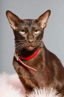 gatto orientale a pelo corto. Marrone scuro. razza siamese.