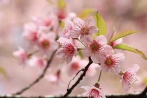 Close up dettaglio rosa sakura foto