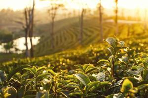 piantagioni di tè