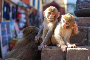 scimmia seduta su stupa swayambhunath a kathmandu, nepal foto