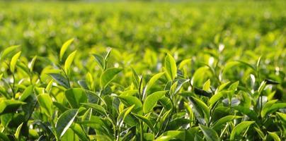piantagione di tè