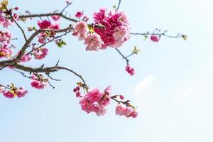 fiore di ciliegio foto