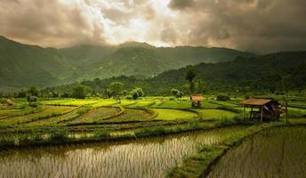 campi di riso foto