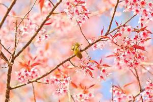 uccello dagli occhi bianchi su fiori di ciliegio e sakura foto