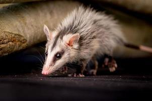 opossum dalle orecchie bianco andino su un ramo zarigueya andina foto