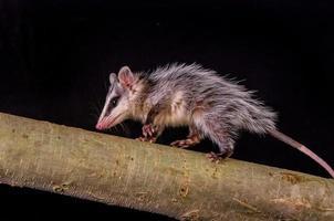 opossum dalle orecchie bianco andino su un ramo zarigueya foto