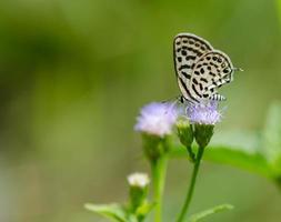 farfalla macchiata di pierrot foto