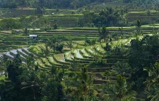 terrazze di riso bali