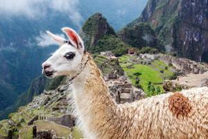 primo piano di lama carino a machu picchu in Perù foto