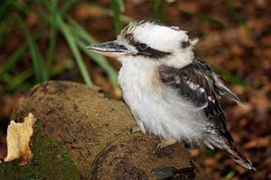 Kookaburra nativo australiano che riposa sul ceppo di albero nella foresta foto