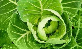 cavolo fresco con foglia verde foto
